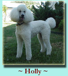 Click to see more of Holly! Standard Poodle
