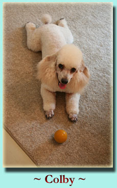 ~ Colby ~ Miniature Poodle