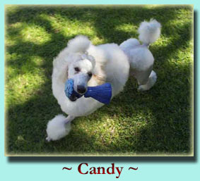 ~ Candy ~ Standard Poodle