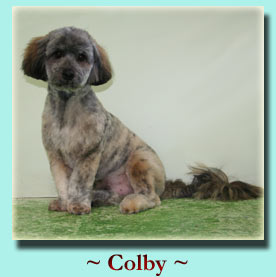 ~ Colby ~ Lhasa Apso