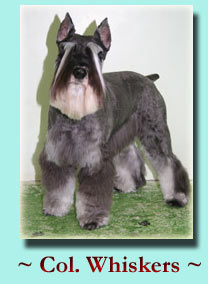 ~ Col. Whiskers ~ Schnauzer