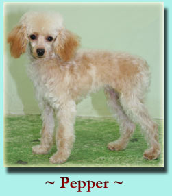 ~ Pepper ~ Toy Poodle