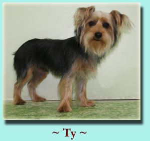 ~ Ty ~ Yorkshire Terrier
