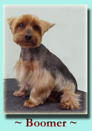 ~ Boomer ~ Yorkshire Terrier