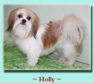~ Holly ~ Lhasa Apso
