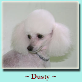 ~ Dusty ~ Toy Poodle